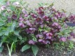 Helleborus_x_hybridus_Black_Beauty_.jpg