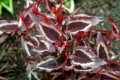 Persicaria-microcephala-Red-Dragon.jpg