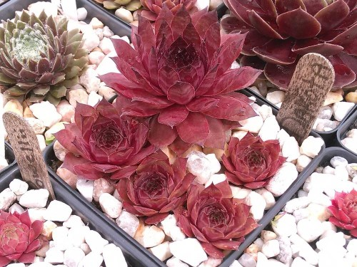 Sempervivum-Dakota.jpg