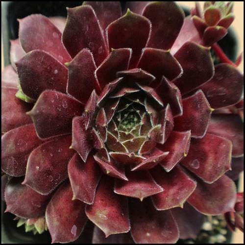 sempervivum-mountain.jpg